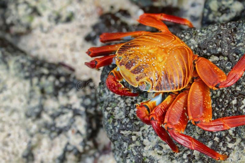Crabe de Galapagos, îles de Galapagos, Equateur photos stock