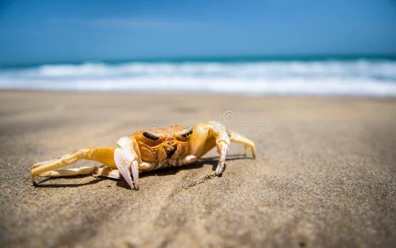 Crabe de Ghost photos stock
