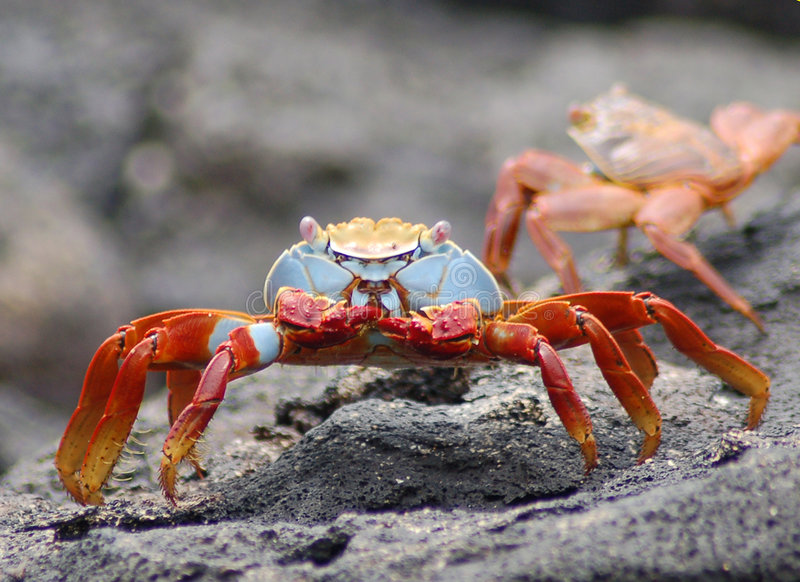 Crabe de lave de Sally Lightfoot photos stock