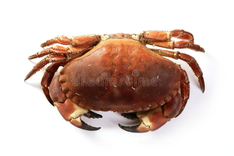 Crabe de pagurus de Cancer grand d'isolement sur le blanc images stock
