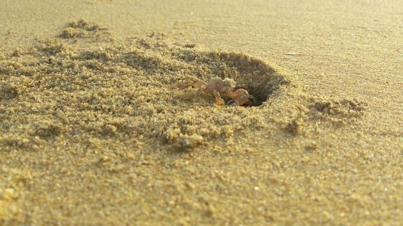 Crabe de plage photo libre de droits