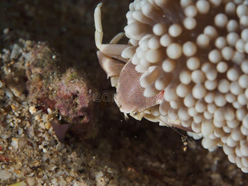 Crabe de porcelaine sur l'anémone photo libre de droits