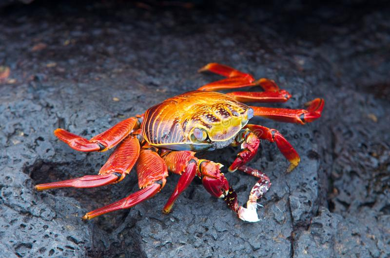 Crabe de roche rouge photo stock