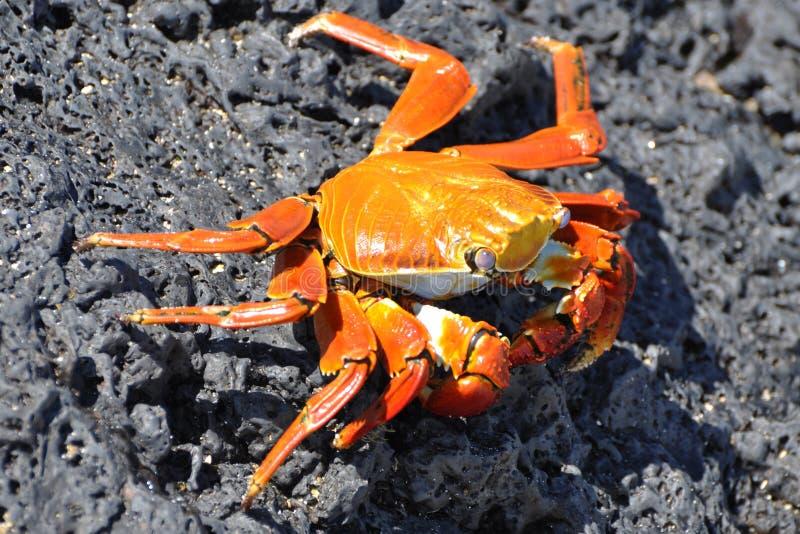Crabe de roche rouge images libres de droits