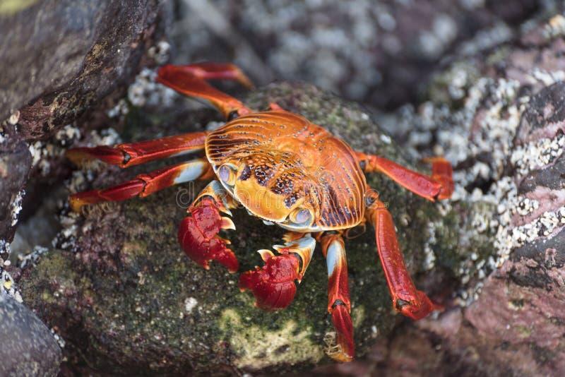 Crabe de roche rouge sur des îles de Galapagos, Equateur, Amérique du Sud photo stock