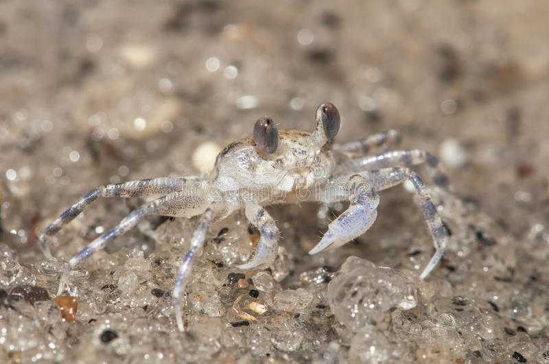 Crabe de sable photos stock