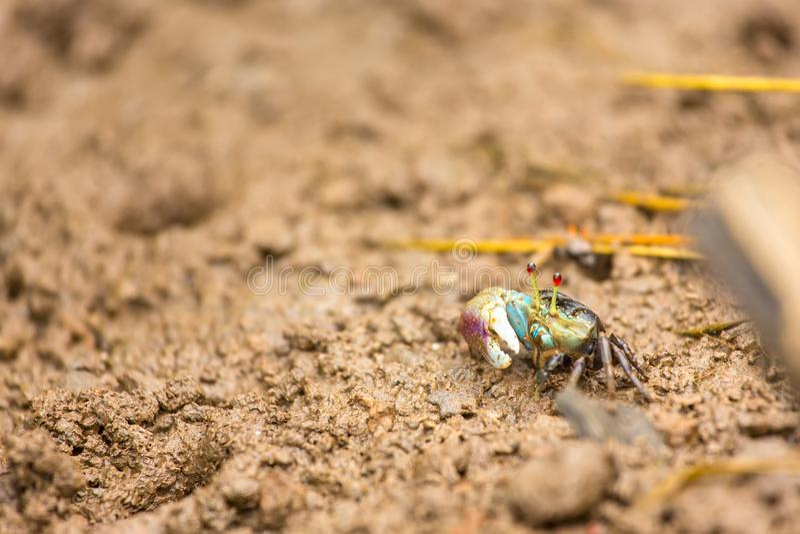 Crabe de violoneur photo libre de droits