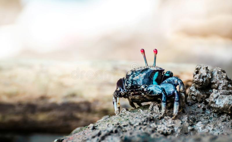 Crabe de violoneur photos libres de droits