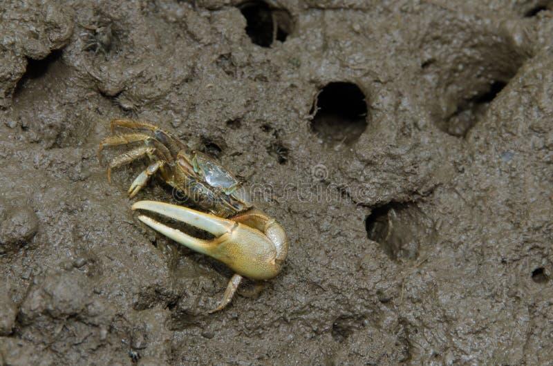 Crabe de violoneur photos stock