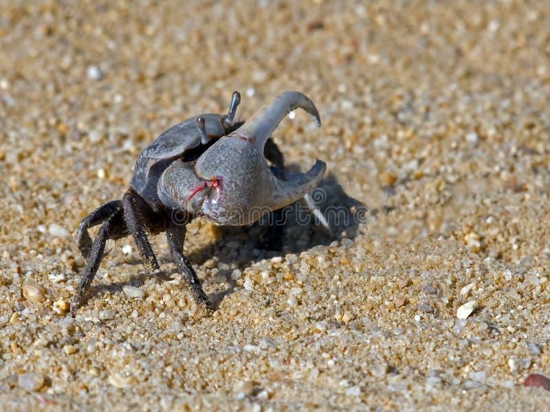 Crabe de violoneur image stock
