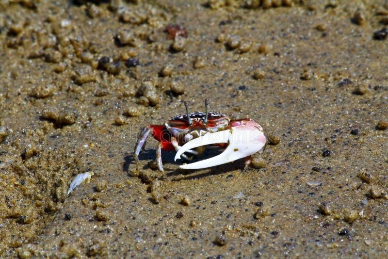 Crabe de violoneur - Afrique, Madagascar photographie stock