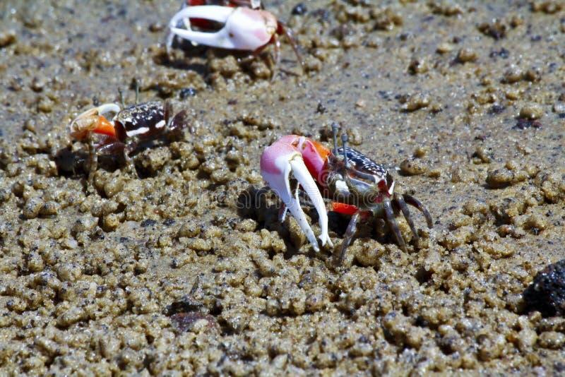 Crabe de violoneur - Afrique, Madagascar photo stock