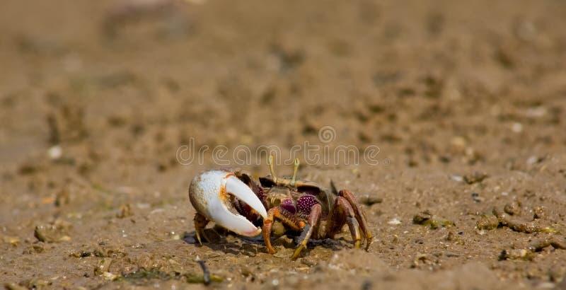 Crabe de violoneur atlantique de marais photographie stock libre de droits