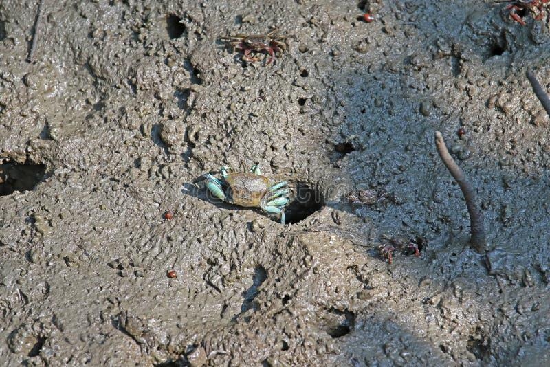 Crabe de violoneur femelle avec les jambes bleues sortant d'un trou images stock