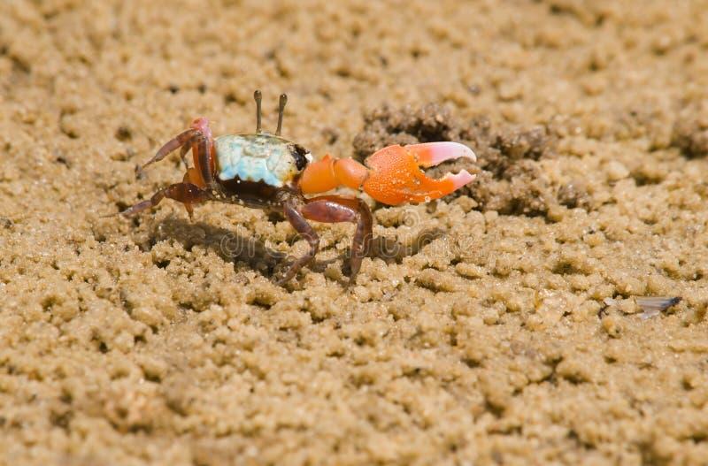 Crabe de violoneur mâle images stock
