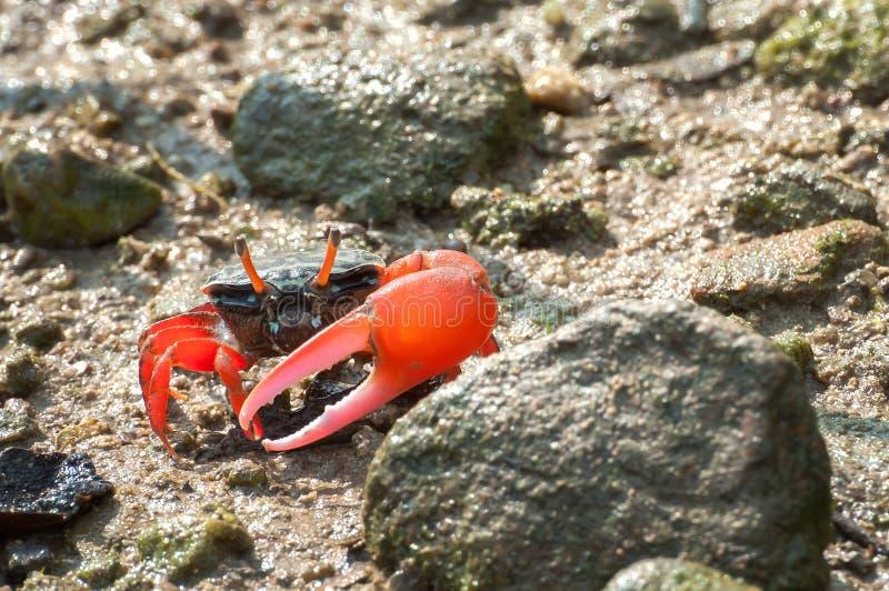 crabe de violoneur Rouge-griffé, Tai O, Hong Kong image stock