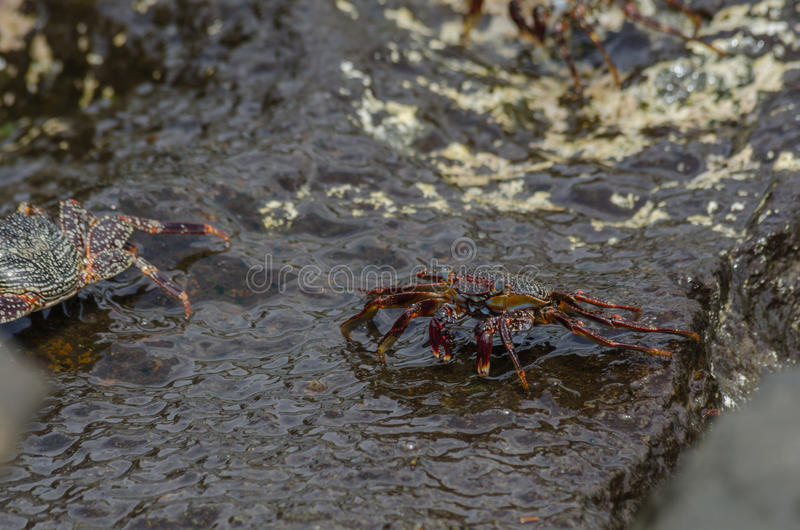 Crabe des Caraïbes image stock