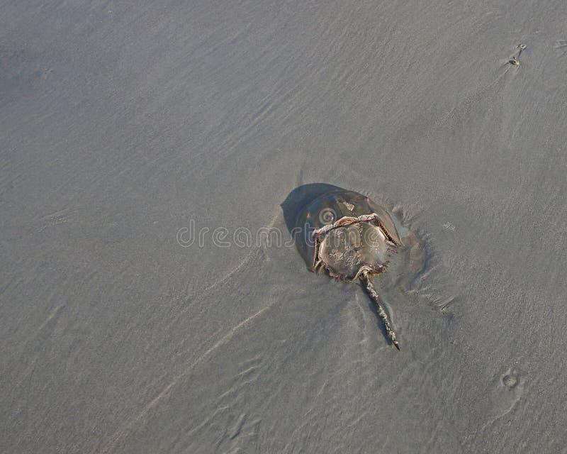 Crabe en fer à cheval photo libre de droits