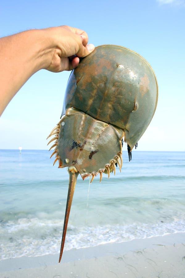 Crabe en fer à cheval images libres de droits