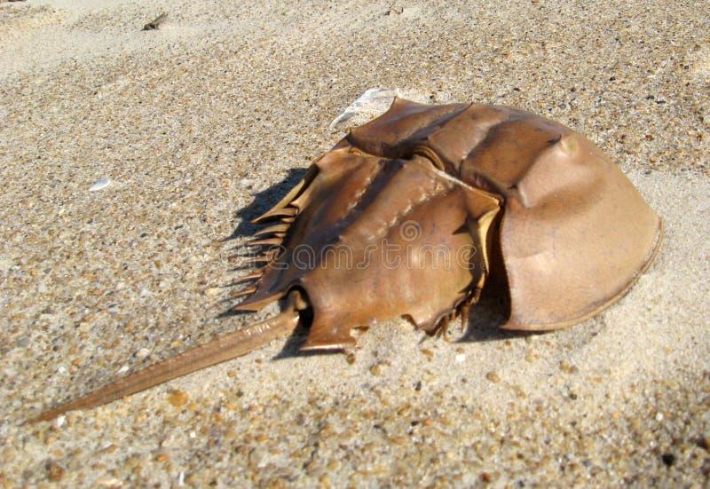 Crabe en fer à cheval photo stock