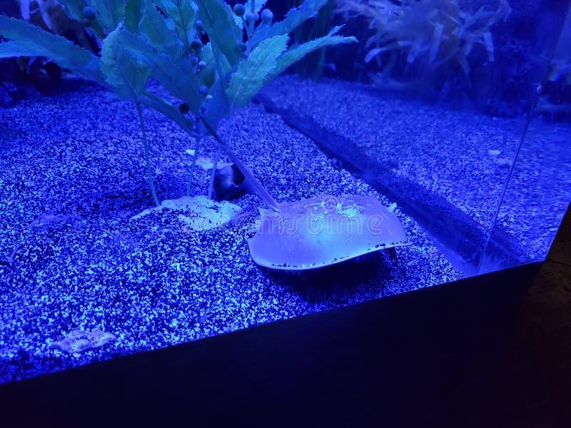 Crabe en fer à cheval au zoo photo stock