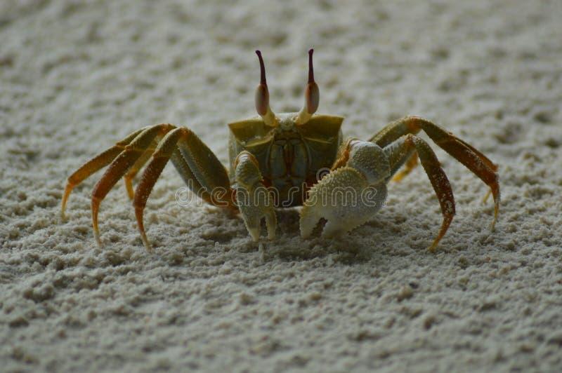 Crabe enragé photographie stock libre de droits