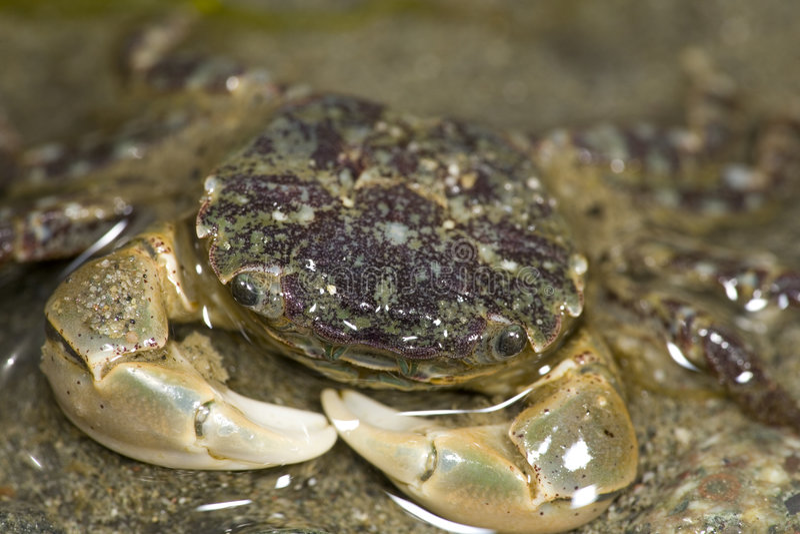 Crabe enragé pourpré images libres de droits