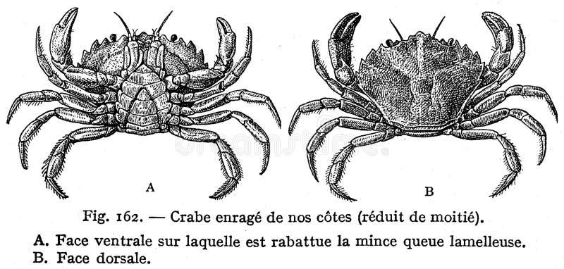 Crabe Enragé Free Public Domain Cc0 Image