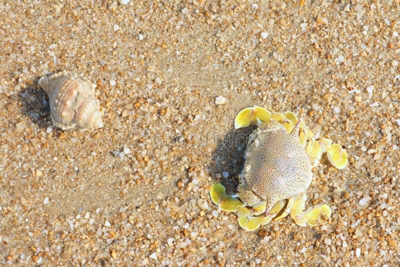 Crabe et conque images libres de droits