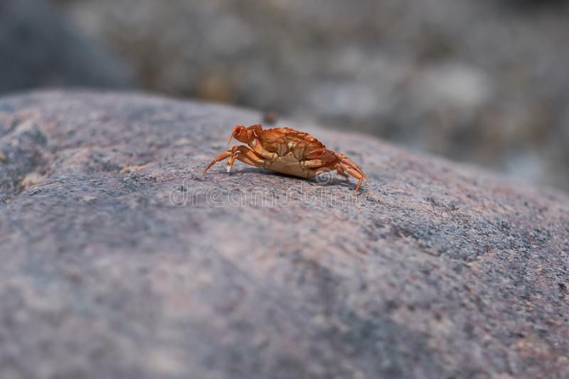 Crabe - exosquelette photos libres de droits