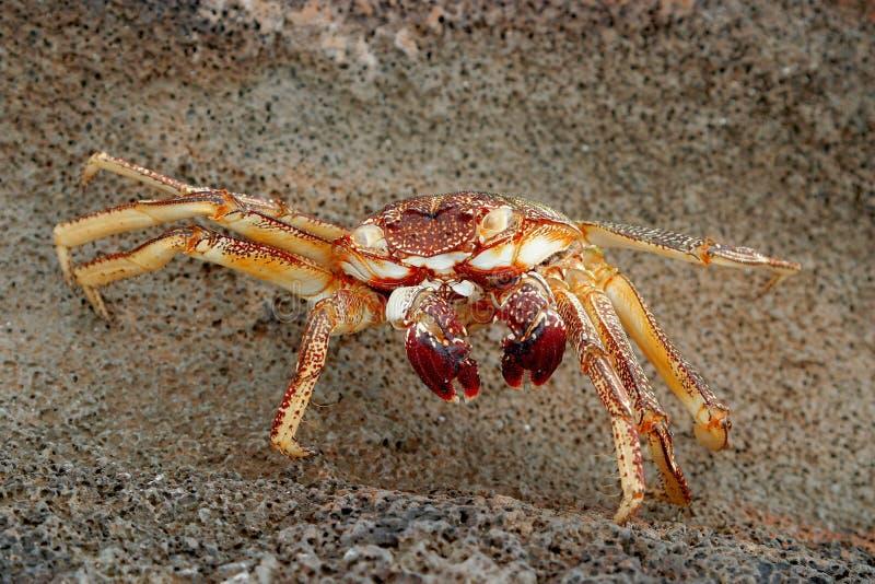 Crabe hawaïen