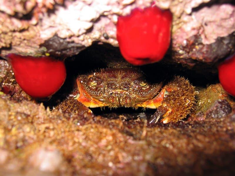 Crabe méditerranéen photo libre de droits