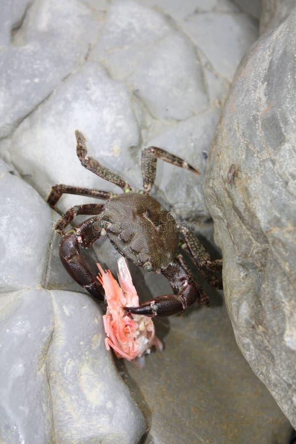 Crabe mangeant d'une crevette images stock