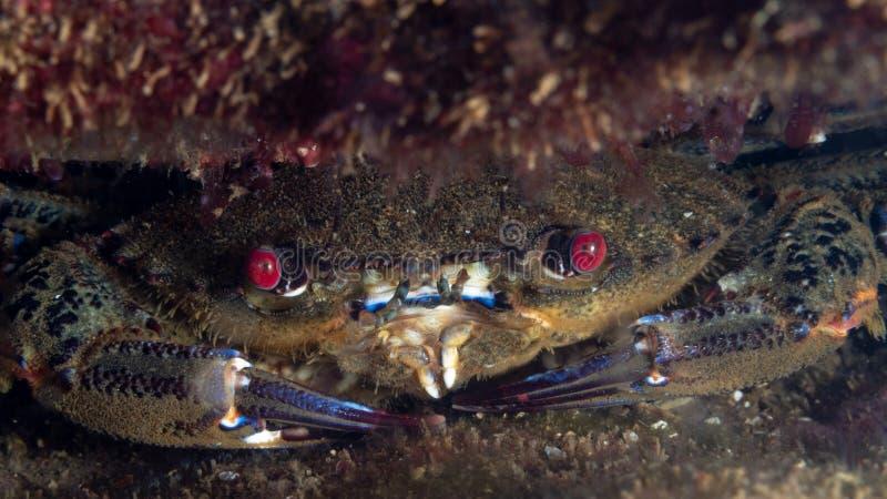 Crabe nageant en velours, puber de Necora photographie stock