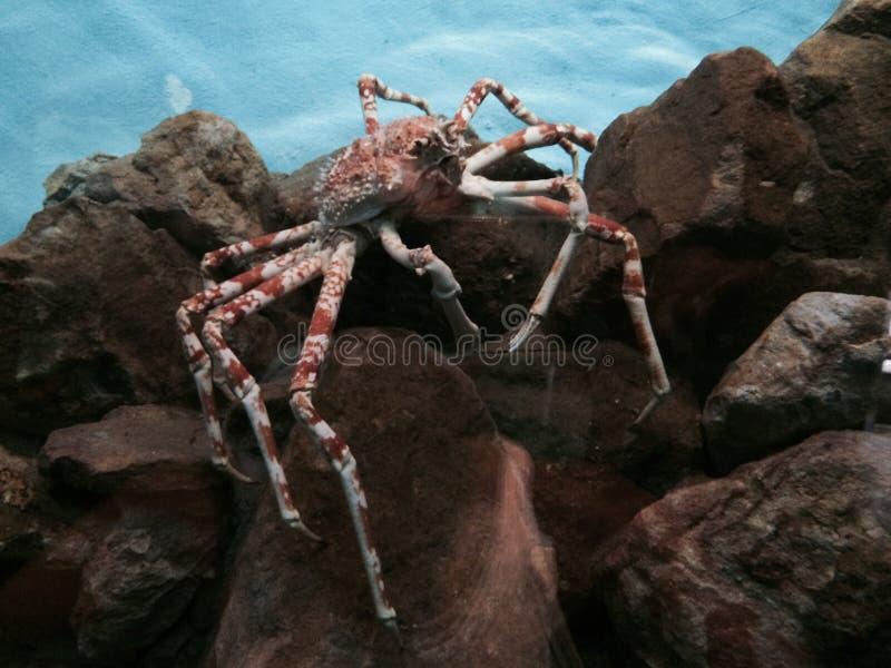 Crabe rouge photo libre de droits