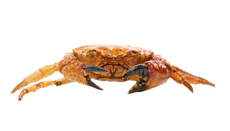 Crabe rouge de fruits de mer d'isolement sur un fond blanc photo stock