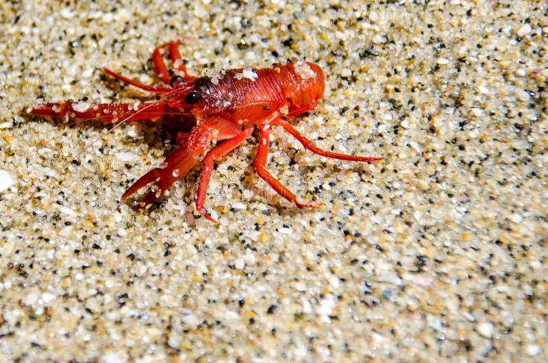 Crabe rouge minuscule de thon à La Jolla San Diego Ces crustacés minuscules lavent sur des rivages de la Californie du sud pendan photo libre de droits