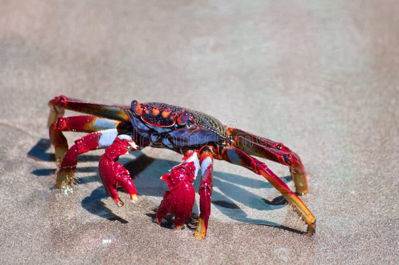 Crabe rouge sur la plage photos libres de droits
