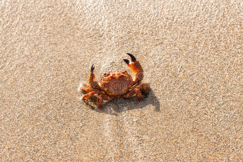 Crabe rouge sur la plage photos stock