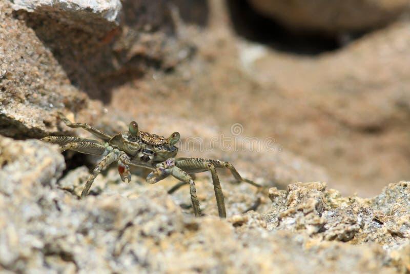 Crabe seul sur la plage photo libre de droits