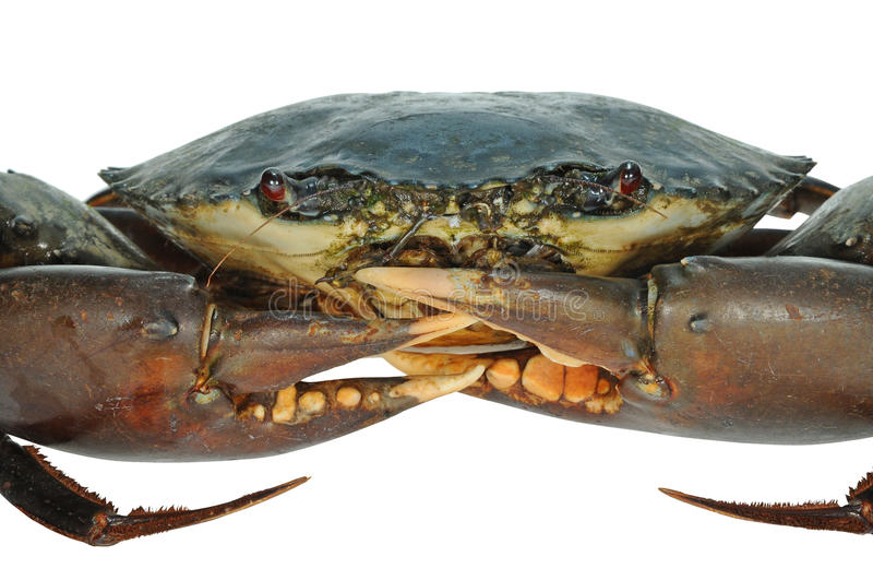 Crabe sous tension photo libre de droits