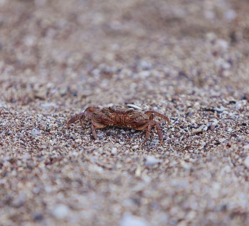 Crabe sur la plage, vue de plan rapproché photographie stock libre de droits