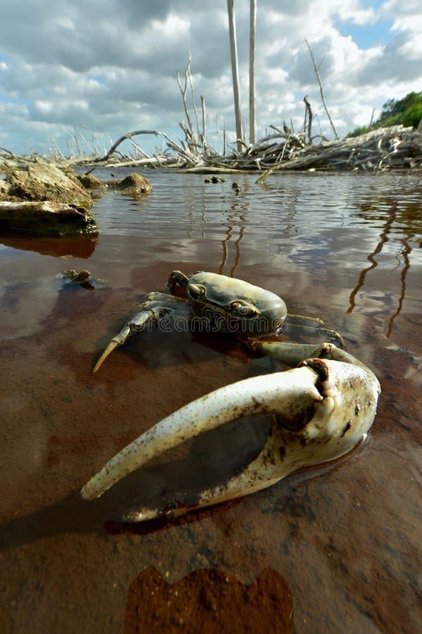 Crabe terrestre bleu (Cardisoma Guanhumi) image stock