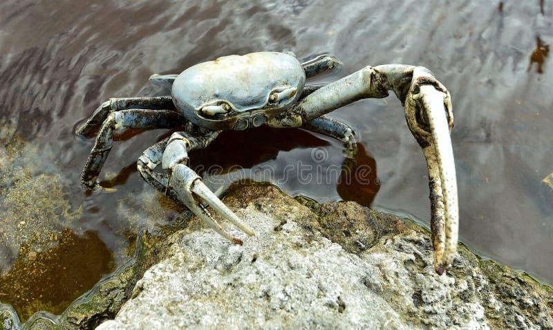 Crabe terrestre bleu (Cardisoma Guanhumi) photographie stock