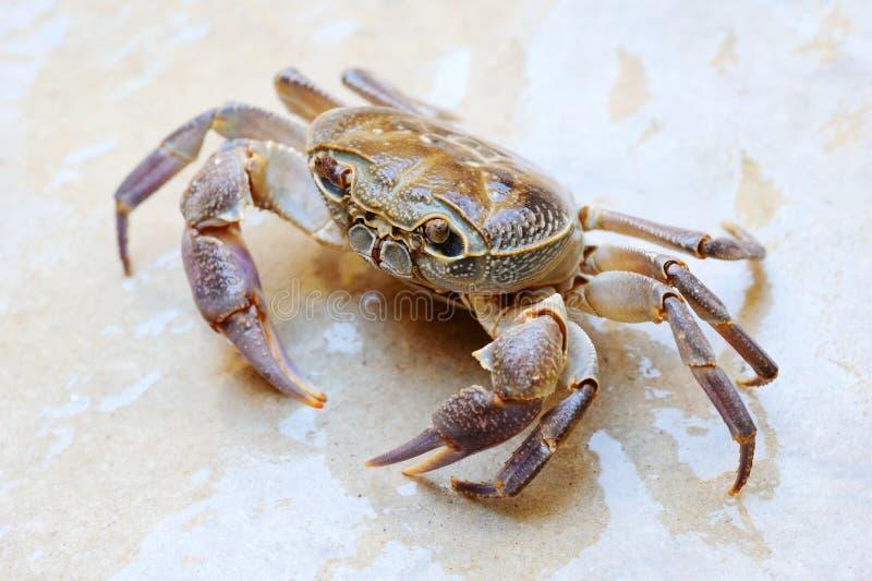 Crabe terrestre d'eau douce photo libre de droits