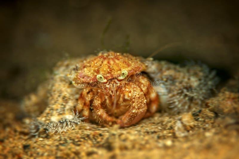Crabe triste photographie stock