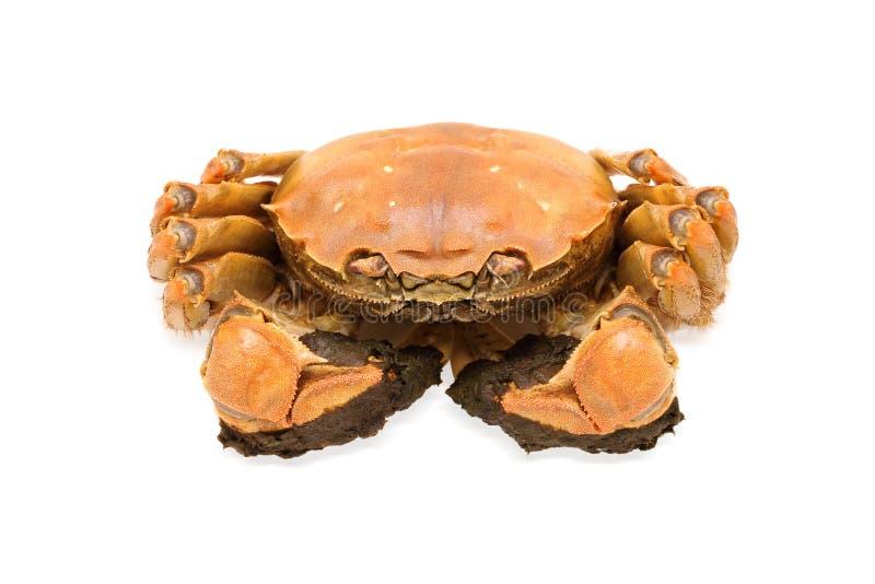 Crabe velu de Changhaï photos stock