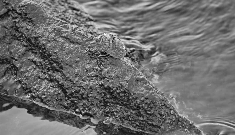 Crabe vivant sur la roche photo libre de droits