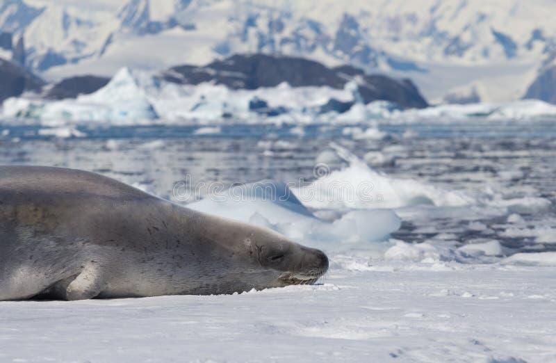 Crabeater foki Lobodon carcinophaga, także znać jako zjadacz foka, jest prawdziwej foki lying on the beach na górze lodowej wewną fotografia royalty free