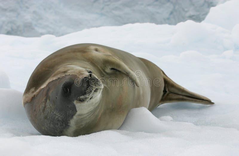 Download Crabeater Seal stock image. Image of antarctica, icefloe - 16384279
